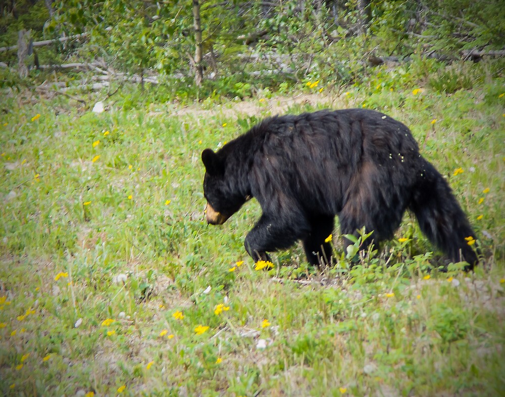 Black Bear along the Alaska Highway by Yukondick