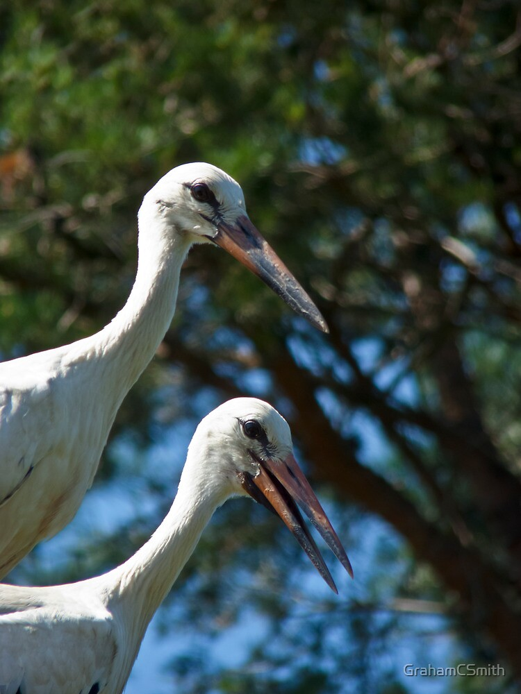 White stork couple, Ciconia ciconia by GrahamCSmith