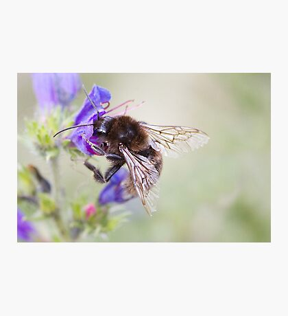 Bumbling Bee Photographic Print