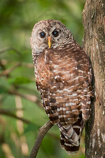 Barred Owl on a Saturday morning in August by Bonnie T.  Barry