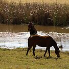 HORSE SWIM by Colin Van Der Heide