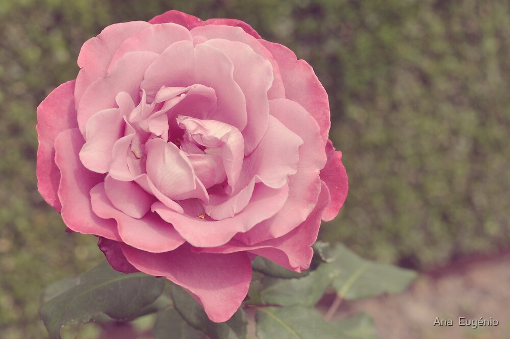 The Princess Rose by Ana  Eugénio