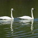 Wildlife Olympics - Syncho Swimming Wannabes, Trumpeter Swans (pan) by A.M. Ruttle