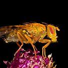 Terellia fly resting on thistle by Gabor Pozsgai