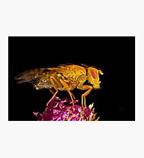 Terellia fly resting on thistle Photographic Print