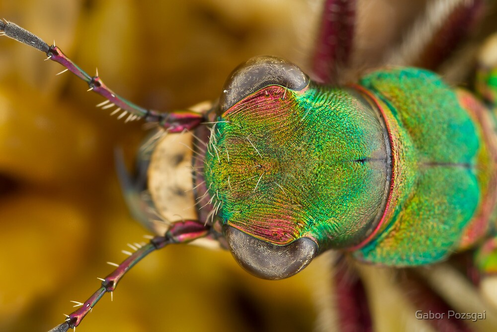 Tiger beetle head close-up by Gabor Pozsgai