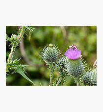 Milk Thistle Photographic Print