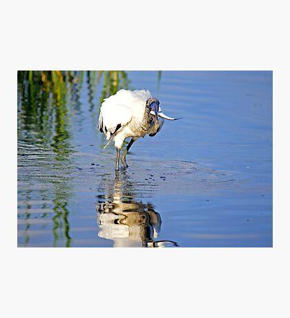 Grey Stork Grabs a fish Photographic Print