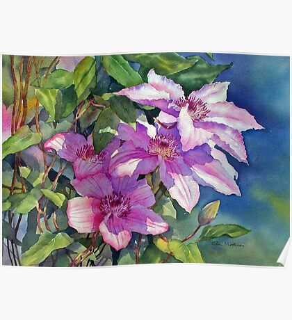 Clematis catching the sun Poster