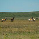 Prong Horn Antelope by Scott Hendricks