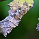 Crumpled leaves by Spencer Backman