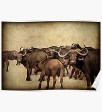 IN ABUNDANCE -  The Buffalo - Syncerus caffer  Poster