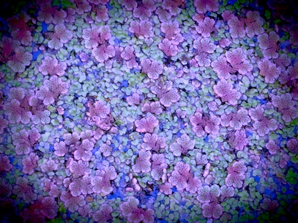 Pink And Blue Wetland Flowers by kahoutek24