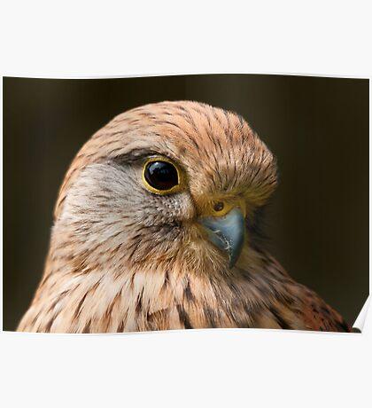 Merlin (Falco columbarius) Poster