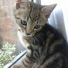 Posing Kitten by Laura Mancini