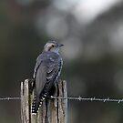 Pallid Cuckoo - NSW far south coast by EnviroKey