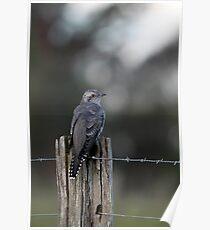 Pallid Cuckoo - NSW far south coast Poster