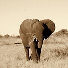 Young Elephant by Donald  Mavor