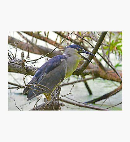 Black Capped Night Heron Says Hello Photographic Print