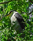 Black Capped Night Heron by Elaine Manley