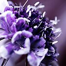 Purple Scabious Macro by Astrid Ewing Photography