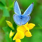 Silvery Blue on Trefoil by Nancy Barrett