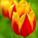 Spring Tulips by Nancy Barrett