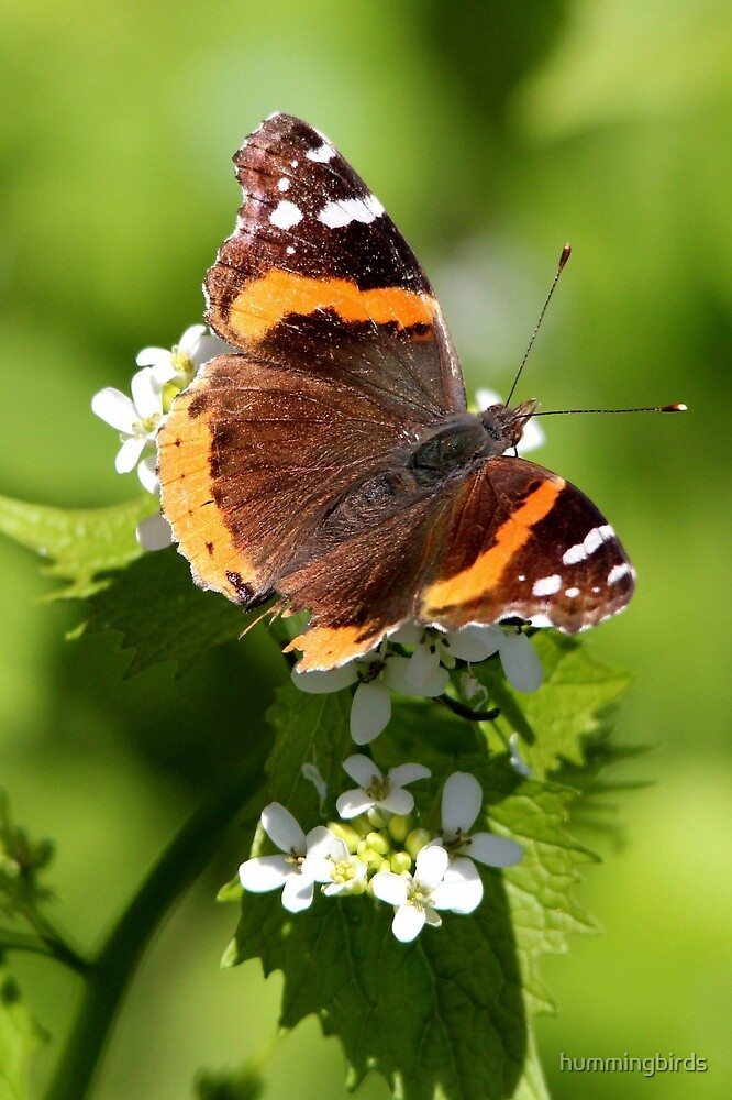 Red Admiral Butterfly Portrait by hummingbirds