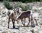 Family of Stone Sheep by Yukondick