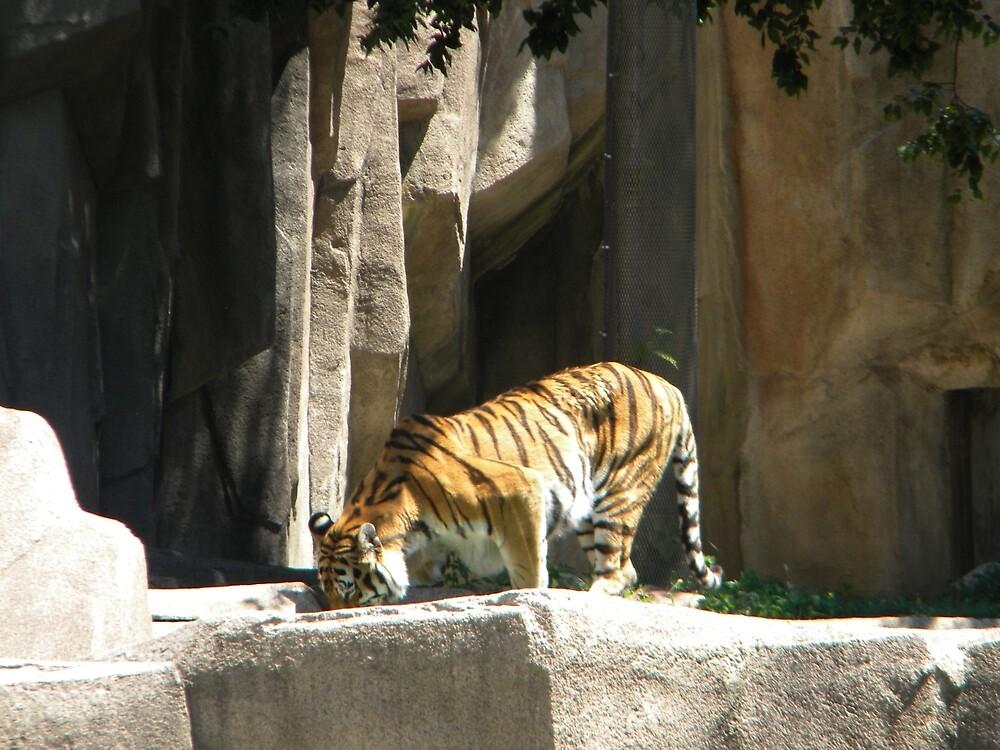 Investigating Tiger by TCbyT