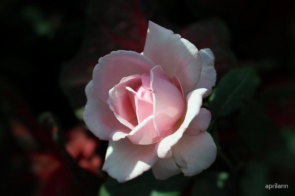 Minnesota Rose by aprilann