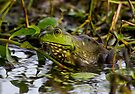 Female Bullfrog Oil by Paul Wolf