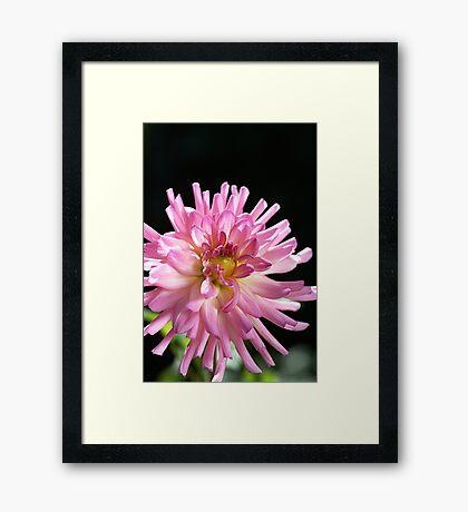 Radiant Dahlia  Framed Print
