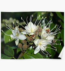 Blossoms Of A Jungle Tree - Flores De Un Arbol De La Selva Poster