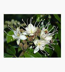Blossoms Of A Jungle Tree - Flores De Un Arbol De La Selva Photographic Print