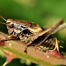 Dark Bush-Cricket by Russell Couch