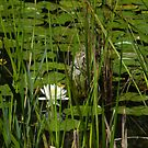 Shy Water Lily by quiltmaker