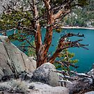 June Lake Juniper by Cat Connor