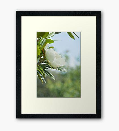 The Sweet Magnolia Tree Framed Print