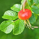 Rose hip fruit by M.S. Photography/Art