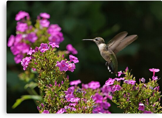 Hummingbird and Phlox by Sandy Keeton