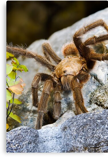 Texas Brown Tarantula (Aphonopelma hentzi) by Paul Wolf