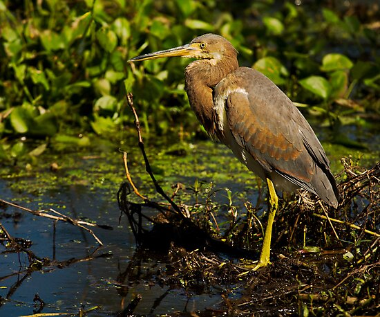 Tricolored Heron (Egretta tricolor) by Paul Wolf