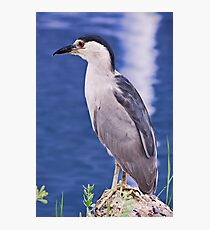Black-Crowned Nigh-Heron (Nycticorax nycticorax) Photographic Print