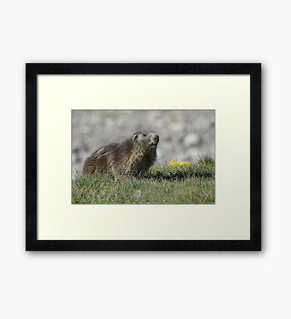 Boss of the marmots Framed Print