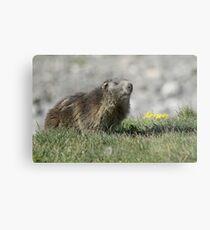 Boss of the marmots Metal Print