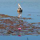 pelican by Sue Downey