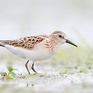 Least Sandpiper. by Daniel Cadieux