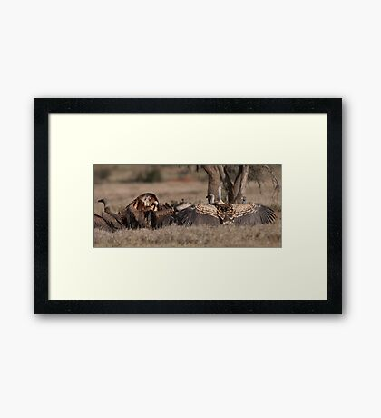 Vulture display Framed Print