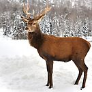 Royal Stance...Wapitis Elk by Poete100